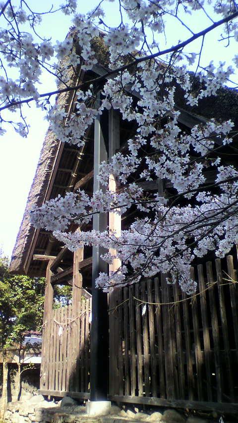 老神神社桜